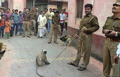 india_langur_monkey