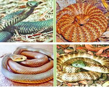 danguras-snake