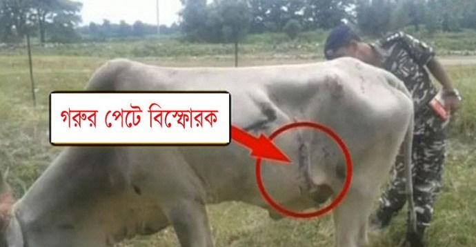 cow-bomb