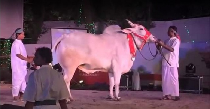 cow-fashion-show