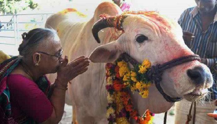 cow-india