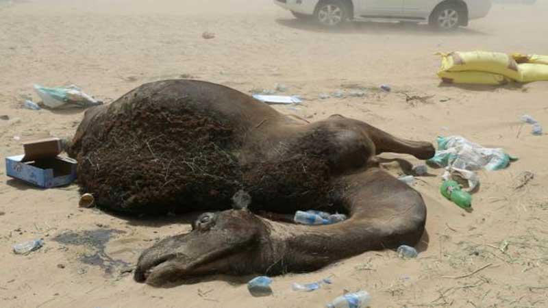 qatari-camel