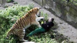 russian-tiger