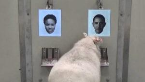 sheep-obama