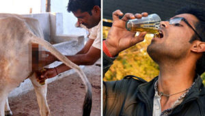 drinking-cow-urine