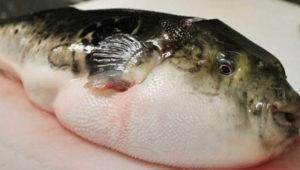 potka-fish