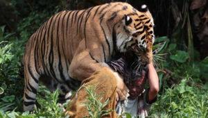 tiger-fight
