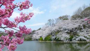 japan-flower