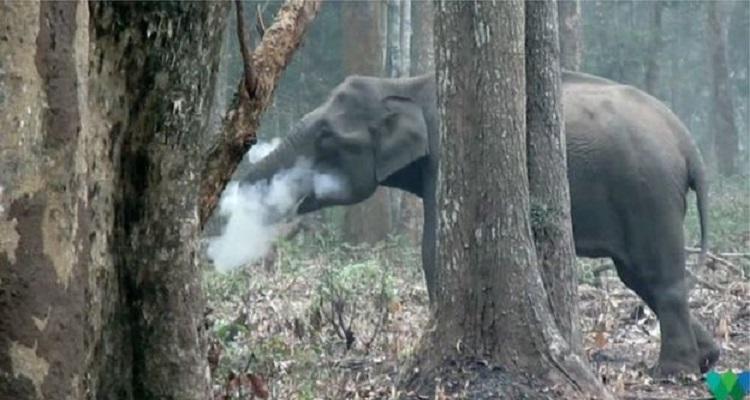 smooker elephent
