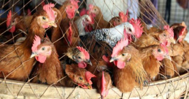 chicken-market