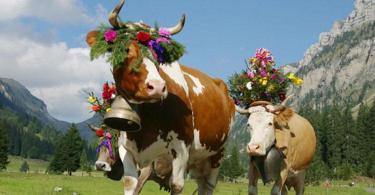 swizerland-cow